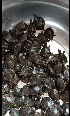 广东省东莞市东莞市中华鳖苗  珍珠鳖,甲鱼,黄沙鳖