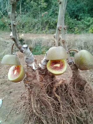 这是一张关于红阳猕猴桃苗 嫁接苗 的产品图片