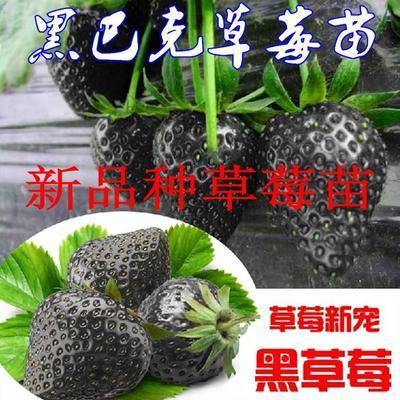 这是一张关于黑巴克草莓苗 10~20公分 地栽苗 的产品图片
