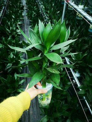 这是一张关于观音竹 的产品图片
