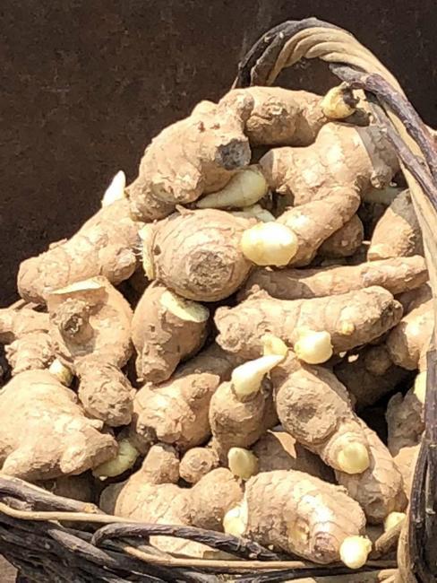 山东生姜姜种定出种植合作社,现在有售中种大量预培育生姜!短数字v生姜图片
