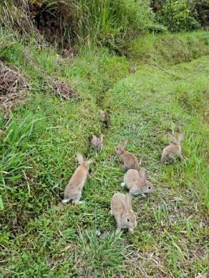 浙江省衢州市柯城区比利时野兔 3-5斤