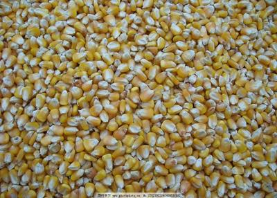 这是一张关于垦玉10号玉米粒 杂质很少 水份17%-20% 的产品图片