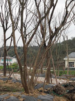 四川省绵阳市涪城区黄连木