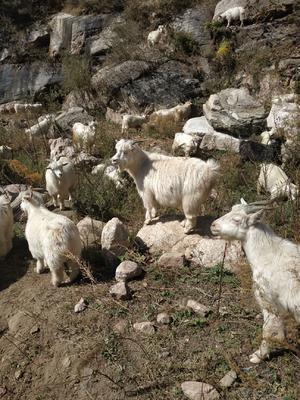 这是一张关于山羊 30斤以下 的产品图片
