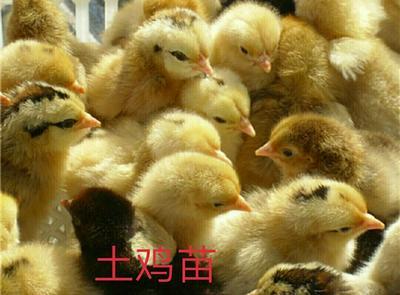 这是一张关于青脚土鸡苗 的产品图片