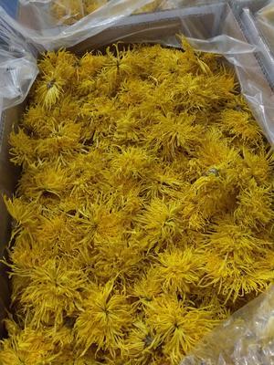 这是一张关于金丝皇菊苗 的产品图片