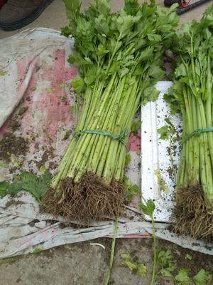 江苏省徐州市丰县玻璃脆芹菜 45~50cm 0.5斤以下 大棚种植