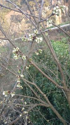 这是一张关于桂花树种子 的产品图片