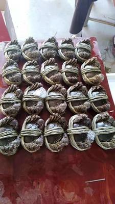 江苏省南京市高淳区固城湖大闸蟹 母蟹 2.0-2.5两