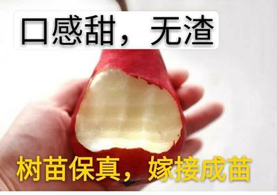 这是一张关于早红考密斯梨树苗 1~1.5米 的产品图片