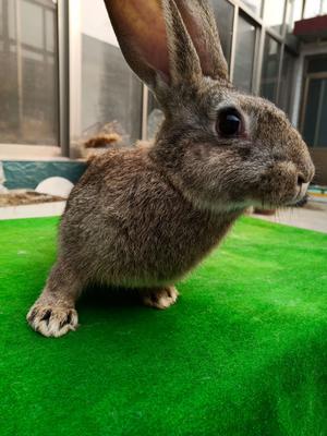 山东省枣庄市滕州市比利时野兔 3斤