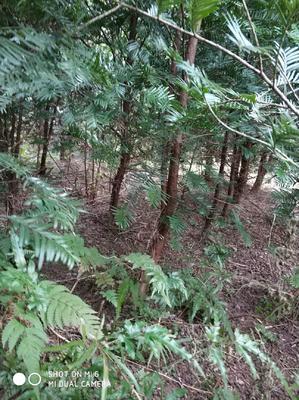 广西壮族自治区桂林市全州县南方红豆杉 1.5~2米