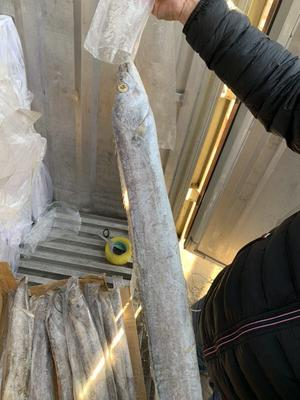 天津滨海新区巴基斯坦带鱼 野生 0.5公斤以下