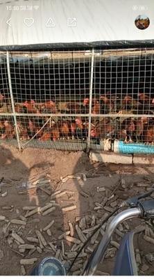 这是一张关于大红公鸡 3-4斤 公 的产品图片