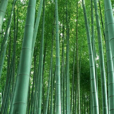 这是一张关于毛竹 的产品图片