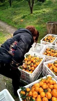 这是一张关于椪柑 统货 3两以上 的产品图片