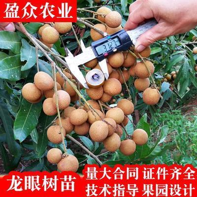 这是一张关于石峡龙眼树苗 的产品图片