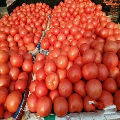 山东省济南市济阳县粉贝贝小樱桃柿 通货 弧一以下 大红