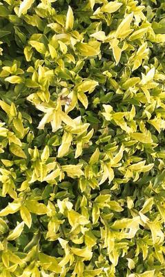 这是一张关于黄金芽茶苗 实生苗 0.5米以下 的产品图片