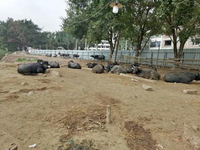 广东省云浮市郁南县黄牛 800-1000斤 母牛