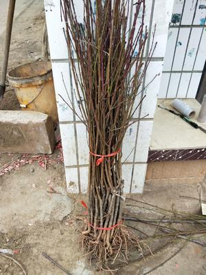 这是一张关于秋彤桃树苗 1~1.5米 的产品图片