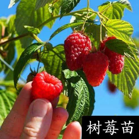 红树莓苗 红/黑/黄树莓,包邮包品种,当年结果