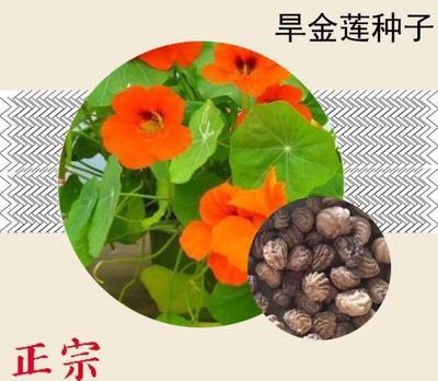 这是一张关于旱金莲种子  金莲花  的产品图片