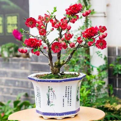 这是一张关于景观盆栽  海棠的产品图片