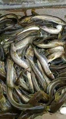 四川省内江市东兴区大口鲶鱼 人工养殖 0.5公斤以下