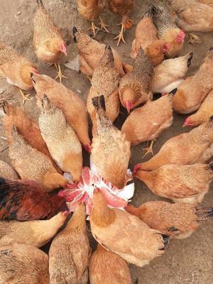 这是一张关于土鸡 2-3斤 母 的产品图片