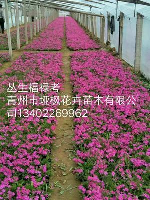 山东省潍坊市青州市丛生福禄考  芝樱花海营养杯苗