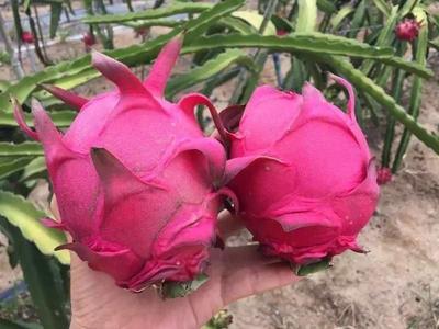 这是一张关于台湾红心火龙果苗 的产品图片