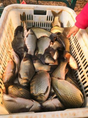 这是一张关于湘云鲫 人工养殖 0.25-1公斤 的产品图片