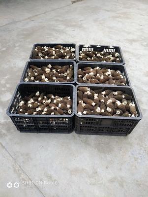 这是一张关于羊肚菌 鲜货 6cm~8cm 尖顶 灰黑色 人工种植 的产品图片