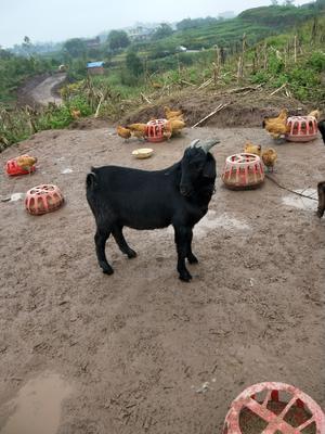 重庆永川区黑山羊 50-80斤