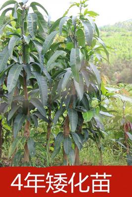这是一张关于金煌芒果苗 的产品图片