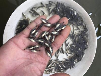 这是一张关于加州鲈鱼苗 的产品图片