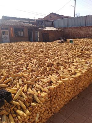 山西省大同市天镇县玉米湿粮 毛货 水份17%-20%
