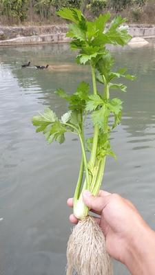 福建省龙岩市永定县西芹 30cm 0.5斤以下 大棚种植