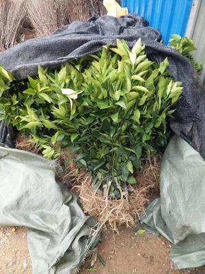 这是一张关于沃柑苗 嫁接苗 0.5~1米 的产品图片