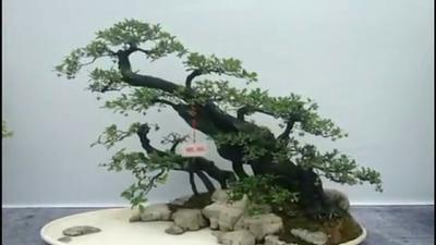 贵州省铜仁市印江土家族苗族自治县金弹子 25~30公分