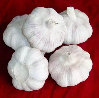 山东省德州市齐河县白皮大蒜 4.5-5.0cm 多瓣蒜