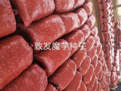 这是一张关于魔芋种子 的产品图片