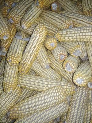 河北省张家口市宣化区玉米干粮 杂质很少 水份14%-16%