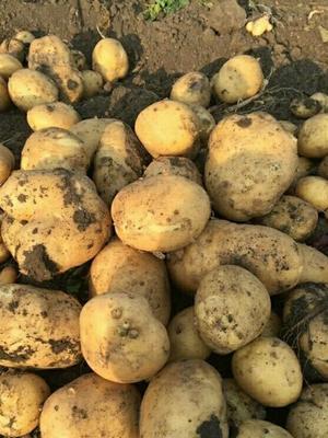 这是一张关于尤金885土豆 3两以上 的产品图片