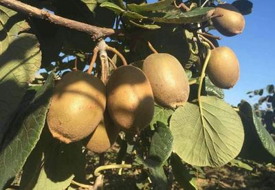 这是一张关于泰山一号猕猴桃苗 嫁接苗 的产品图片