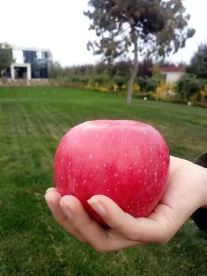 广东省广州市白云区红富士苹果 60mm以下 全红 膜袋