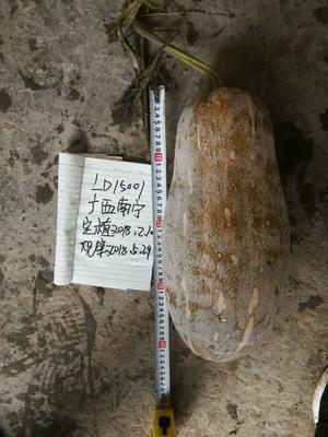 山东省潍坊市寿光市贝贝南瓜种子 97%