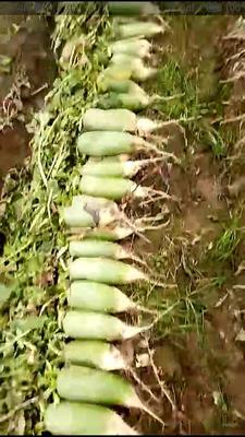 河南省驻马店市汝南县水果萝卜 2~2.5斤